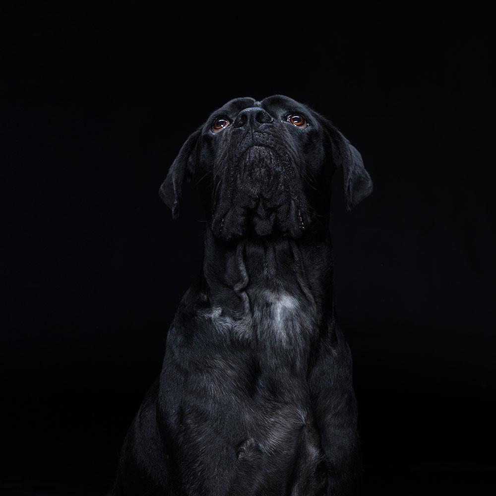 צילום דיוקן לכלב בסטודיו על רקע שחור